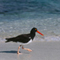 American Oystercatcher; Galapagos Islands