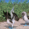Blue Footed Booby; Galapagos Islands