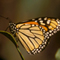 Monarch Butterfly; Santa Barbara, CA